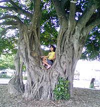 子供たちが木登りをしてたりします。スケボー施設の横にある、ベンチに囲まれたガジュマルの木。