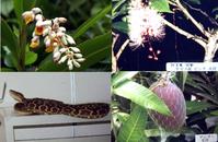 動植物 ゲットウ(写真左上) サガリバナ(写真右上) ハブ(写真左下) マンゴー(写真右下)  行事 ・奄美シーカャックin加計呂麻大会 ・大浜サマーフェスティバル ・奄美まつり