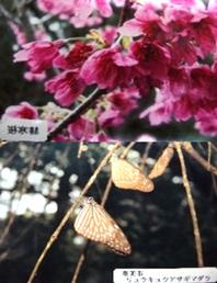 動植物 ヒカンザクラ(写真上) リュウキュウアサギマダラ(写真下)  行事 ・紬の日(1月5日) ・桜マラソン(2月上旬)