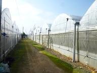 1600坪(約5300平米) 30棟のマンゴーハウスで栽培しています。