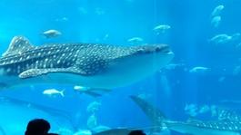 カルストヴィラからお車で10~15分。8mの巨大な水槽を泳ぐジンベイに圧巻です!水槽内には約70種、1万6000匹もの生き物が飼育されています。イルカたちが楽しいショーを見せてくれる「オキちゃん劇場」もおすすめです。