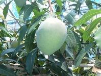 アップルマンゴーの名で親しまれているアーウィン種とはちがい、熟しても緑色のままのキーツマンゴーという品種があります。とりわけ濃厚な香りと、とろけるような甘さは至福の美味。伊敷畑アーウィン種(アップルマンゴー)は最高でも18度を超える糖度を誇り、巷に並ぶ通常のマンゴーと比べても、群を抜く甘さなのですが、このキーツマンゴーの糖度はピーク時の20度を超えるというから驚きです。
