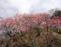 名護城跡の寒緋桜は濃くきれいなピンク色。 1月中旬~2月上旬が見ごろです。(車で約20分)