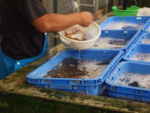 1日の始まりはまず養殖池の観察、水質のチェック、飼水の入れ替え作業です。潜水観察も毎日行い、体調を崩している海老はいないか餌の食べ残しがないかなど入念にチェックします。 その後、海老の収穫が始まります。