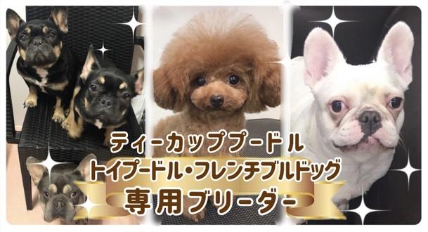 東京都の府中市にあるティーカッププードル・トイプードル専門ブリーダーのサンキューです。ティーカッププードルが大好き、わんちゃんが欲しいけど、小型犬が欲しいという方にぴったりのティーカッププードルやトイプードルを販売しています。ここ数年ティーカップサイズは人気が高く、飼いやすいと喜ばれています。