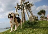 暑過ぎず爽やかな日は先ずお散歩から始まります。早速サンセットビーチへ! わんちゃん保育園ラ・レイアはサンセットビーチまで徒歩1分です。  ラッセル君ふわぁ~ 深呼吸\▼^ш^▼/ 海からの風がサイコーに気持ちいいですよ!
