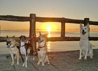 そして夕方のお散歩はみんなで夕日を見ながら再びビーチへ♪ サンセットビーチから北谷球場・公園、時にはアラハビーチまでお散歩し、砂浜や干潟を歩かせ自然を満喫させます。  わんちゃんが苦手でブルブル・ガウガウしちゃう子も大丈夫です。決してわんちゃん同士だけにはさせません。犬は本来群れで生活する動物ですから、近くにわんちゃんがいても落ち着いていられるよう練習します。また適度なストレスは、免疫力を高め身体を丈夫にし、脳の活性化にもなりお勧めです。